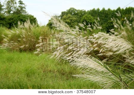 Rice Tree Plant Natural In Thiland Country
