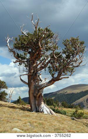 Pino longevo árbol