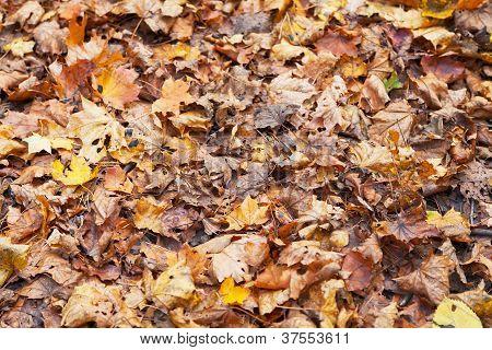 Yellow Red Orange Maple Leaf Litter
