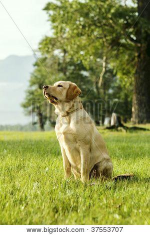 Beautiful Puppy Of Retriever