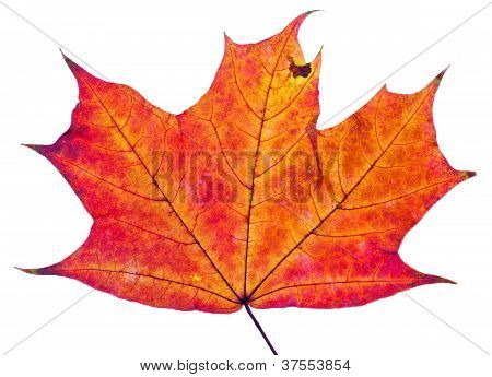 One Autumn Red Maple Leaf