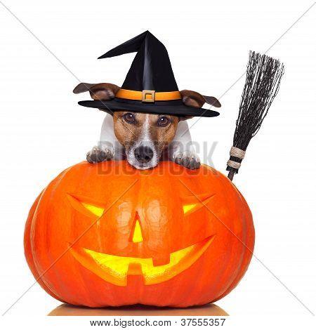 Perro de bruja calabaza de Halloween