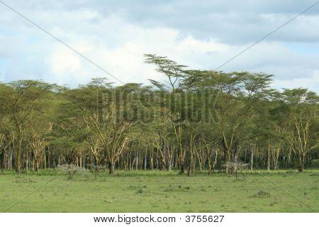 Kenyan Trees