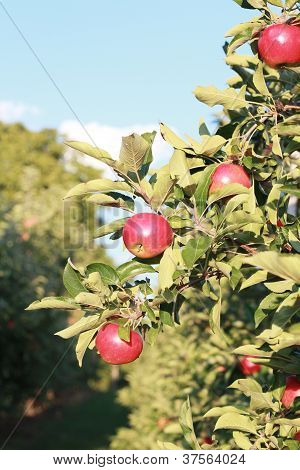 Jonagold apple tree