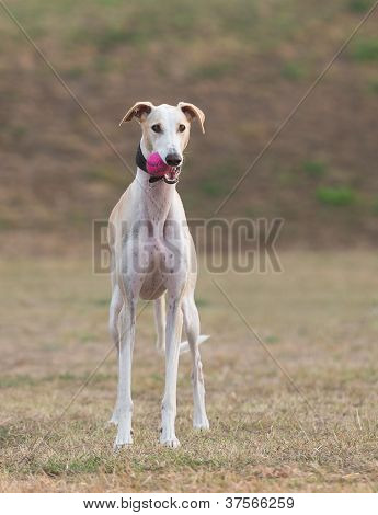 Young female galgo Espanol outdoors