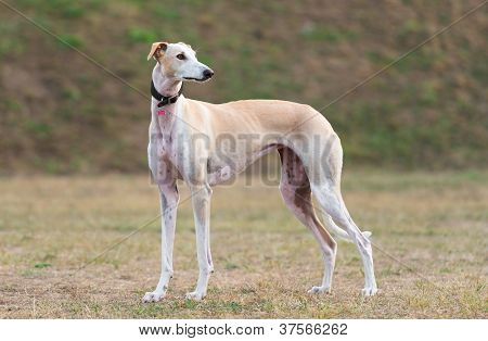 Young female Galgo Espanol plays outdoors