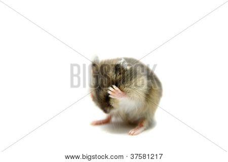 Djungarian Hamster baby