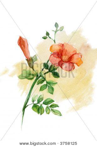 Wild Rose (Rosa Canina)