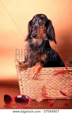 black spotted long-haired dachshund