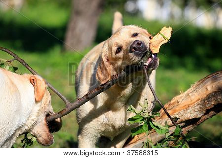 Labrador retriever dogs playing