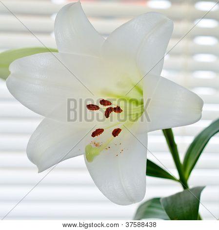 Lily flower, Lilium