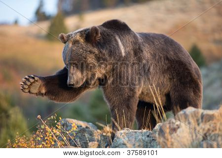 Grizzly Bear with leg and paw extended