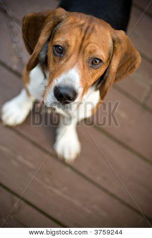 Curioso Beagle