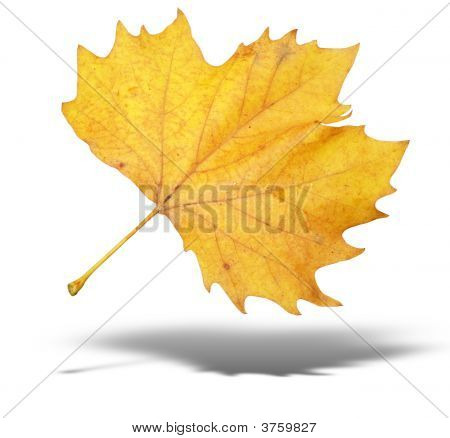 Yellow Autumn Tree Leave With Shadow Isolated Over White Background