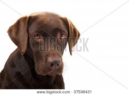 Brown Labrador Looking Sad