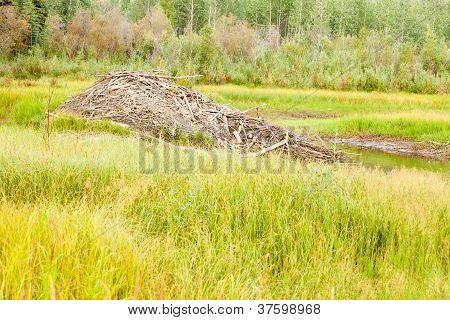 Beaver Castor canadensis lodge in taiga wetlands