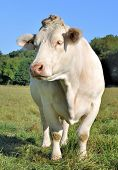 picture of charolais  - beautiful Charolais in a meadow front view - JPG