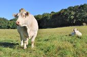 picture of charolais  - peaceful Charolais cows in a green meadow - JPG