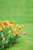 Vertical Image Of Tulips Against Green Meadow With Copy Space