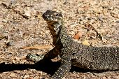 picture of goanna  - Lace Monitor or Goanna(Varanus varius) in south coast of Queensland Australia