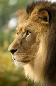 image of lions-head  - lion - JPG