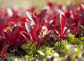 picture of bearberry  - Mountain Bear - JPG