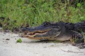pic of gator  - Big Gator in the Everglades - JPG