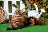 stock photo of household farm  - Brown Tabby Maine Coon in studio garden - JPG