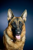 picture of german-sheperd  - Beautiful German shepherd portrait on dark background - JPG