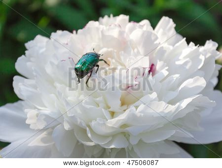 May bug on peony flower