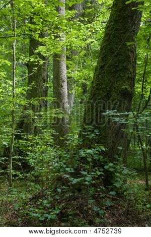European Summer Deciduous Forest With Old Linden Tree In Foreground