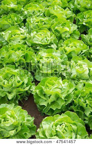 Fresh Green Salad Lettuce