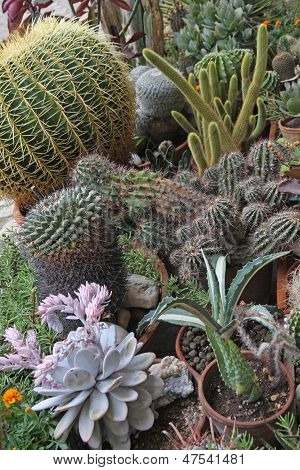Mix Of Many Succulents And Cactus With Sharp Prickles And Thorns Of The Desert Plants