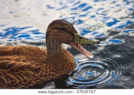 Quacking Duck On The Water