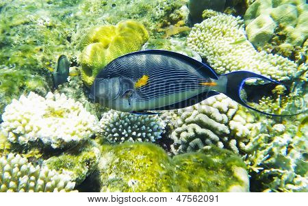 Arabian Surgeonfish Underwater Red Sea