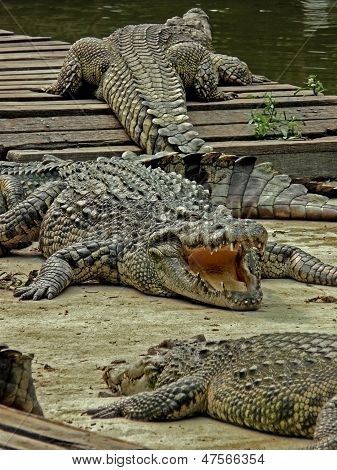 Crocodiles Are Getting A Tan