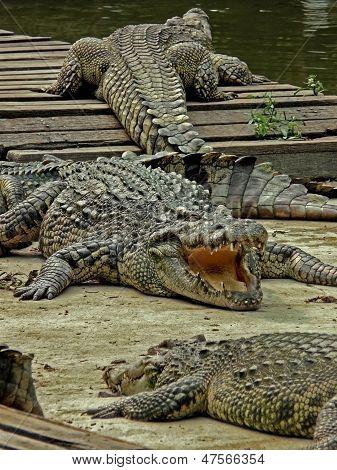 Crocodiles Are Getting A Tan