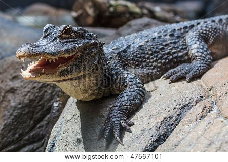Yangtze Alligator