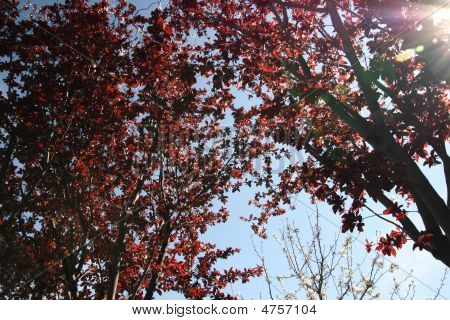 Sun Through Red Leaves