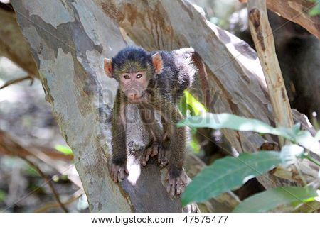 Baby Olive Baboon (papio Anubis) Climbing