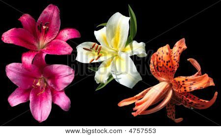 Three Lilies Isolated On Black