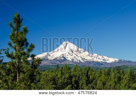 Mt. Hood And Pine Trees