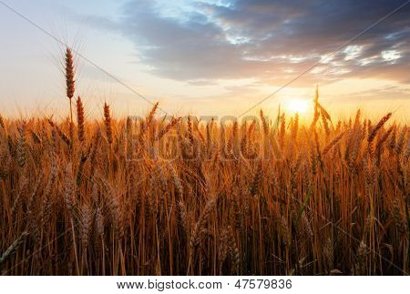 Wheat Field Over Sunset