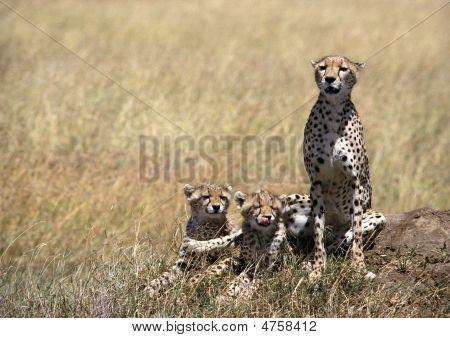 Chetah Family