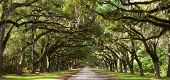 image of canopy  - Live oak trees grow beside a road - JPG
