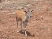 image of eland  - the eland is found in safari parks africa - JPG