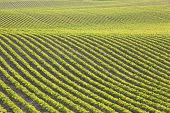 picture of soybeans  - Undulating rows of young soybeans in a field - JPG