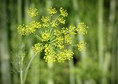 stock photo of stamen  - Macro of fennel in garden with stamen and green background - JPG