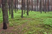 stock photo of pinus  - Pine forest  - JPG
