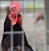 picture of fighting-rooster  - Closeup of a rooster in a pen - JPG